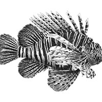 Line illustration of a Lion Fish (digital pencil) - איור קווי של זהרון