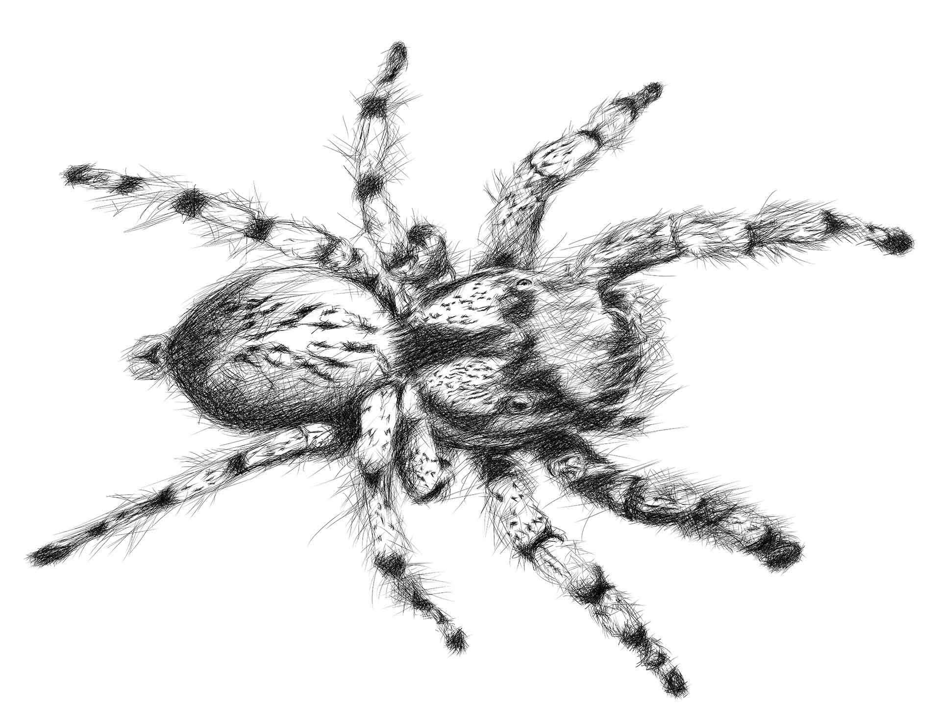 Hairy spider digital pencil line drawing ציור בעיפרון דיגיטלי עכביש
